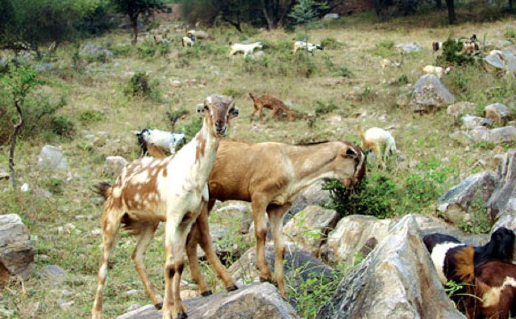People shift from agriculture and cattle rearing to goat rearing because goats can survive in harsh environment and still provide good profit.