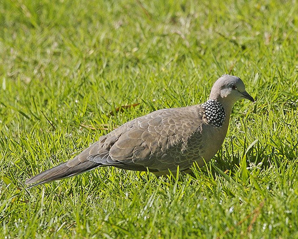 Snowy owls and turtle doves, the familiar birds, are nearing extinction. Credit: Lip Kee/Flickr