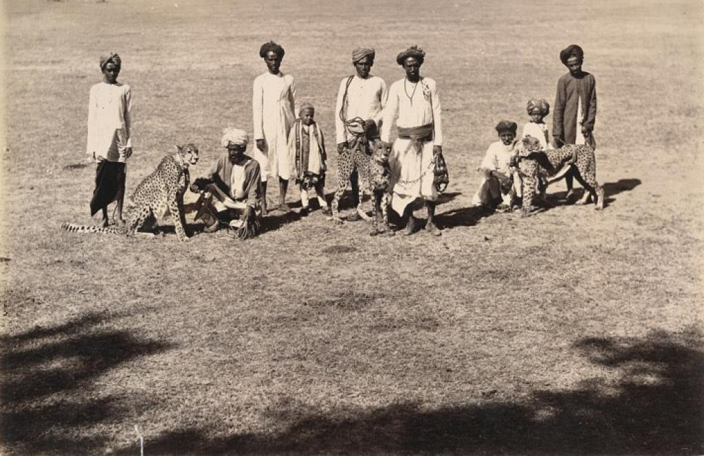 Three Cheetahs with their handlers in the princely state of Baroda, circa 1890         Credit: Wikimedia Commons