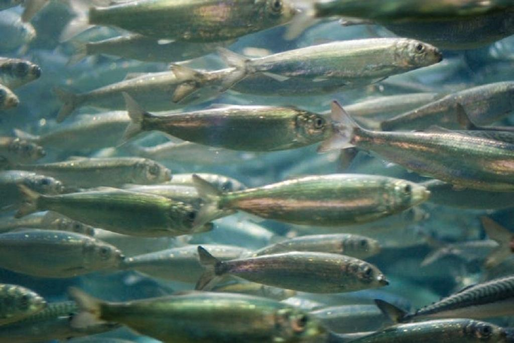 Sustained ocean warming could greatly reduce catches of fish like these herring photographed off Norway. Jacob Botter, CC BY