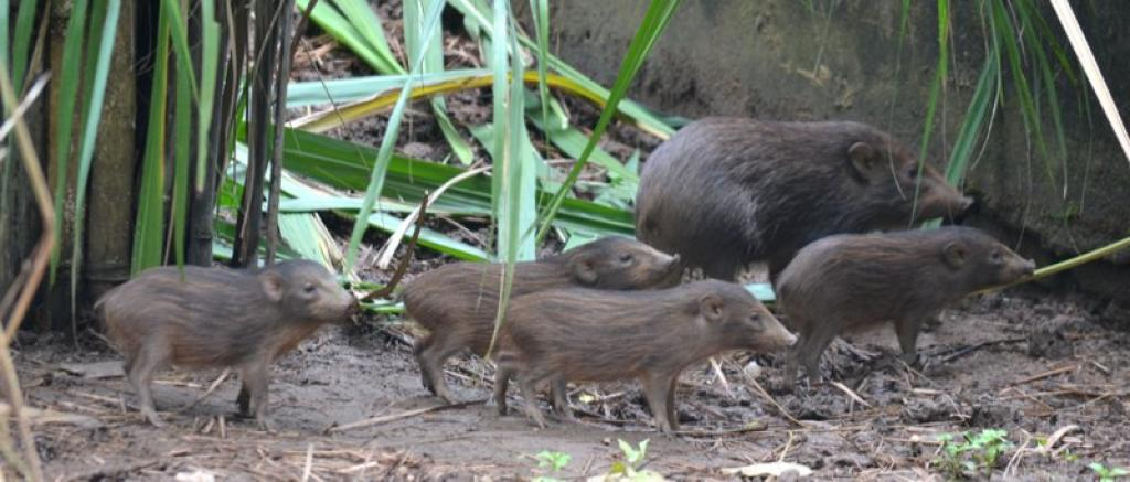 The pygmy hogs could not be released into the wild until they had learned to navigate the dangers. Credit: Pygmy Hog Conservation Programme
