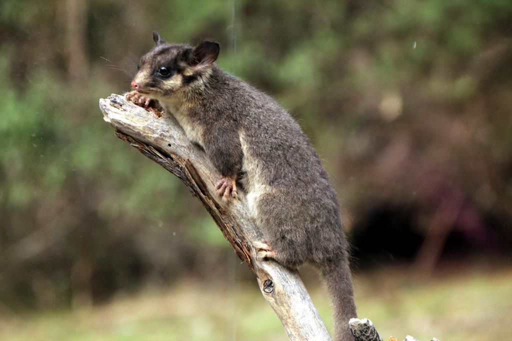 A Leadbeater's Possum, one of the marsupial species whose numbers have declined at an alarming rate in the forest near Melbourne    Credit: Flickr