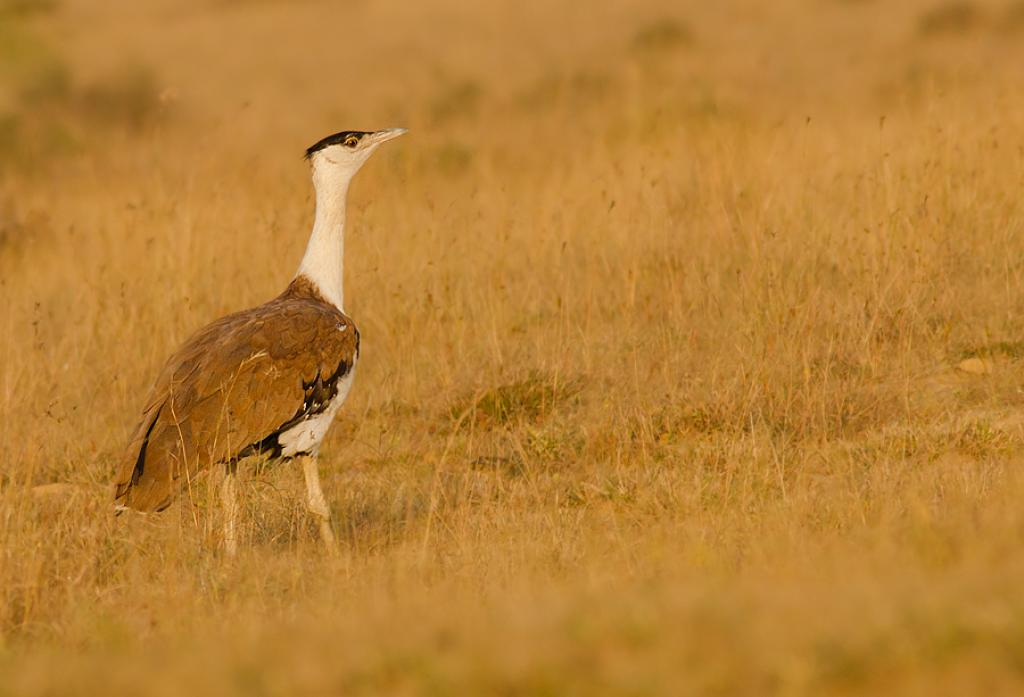 A Great Indian Bustard walking in Naliya grasslands, Kutch, India                      