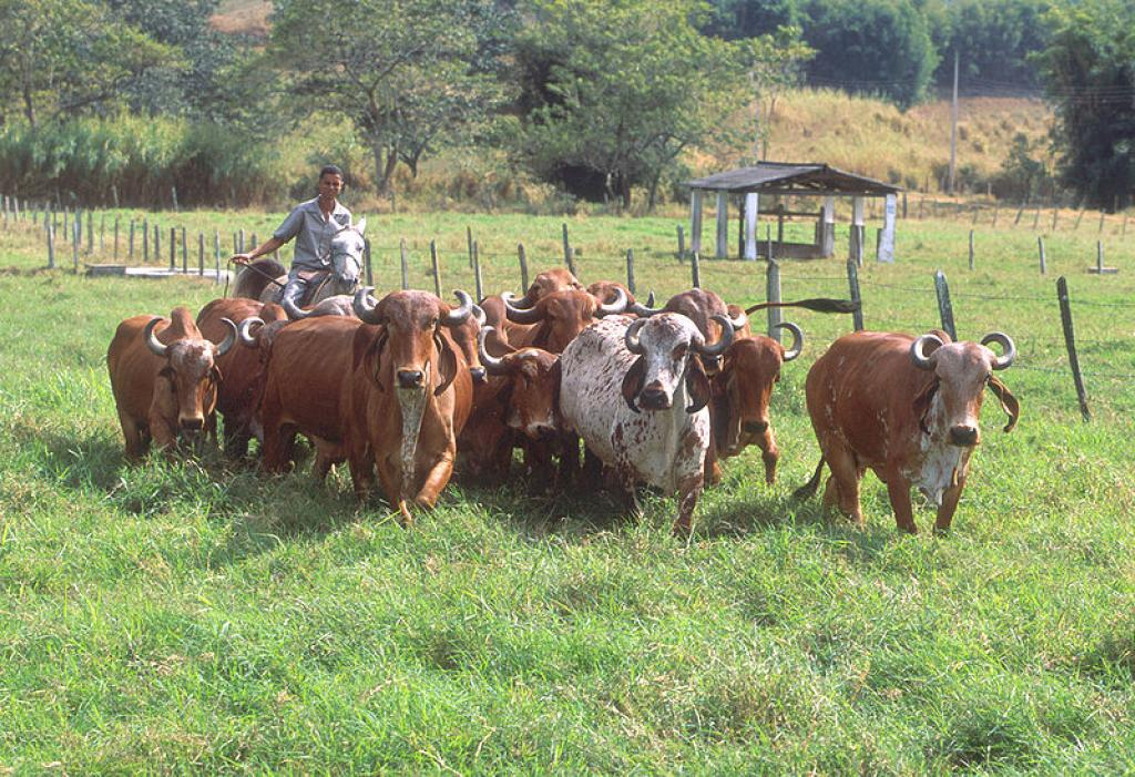 The issue of antibiotic use in livestock, particularly for non-therapeutic use such as mass disease prevention or growth promotion. Credit: Wikimedia Commons
