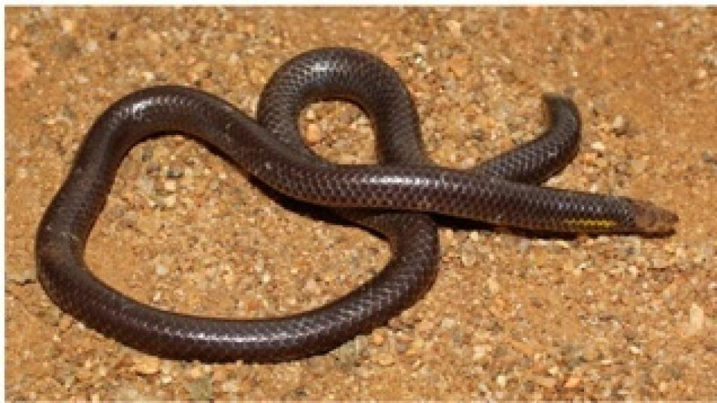 A specimen of the Bhupathy's shield tail snake with a deformed head, which according to the authors is likely due to a fungal infection.