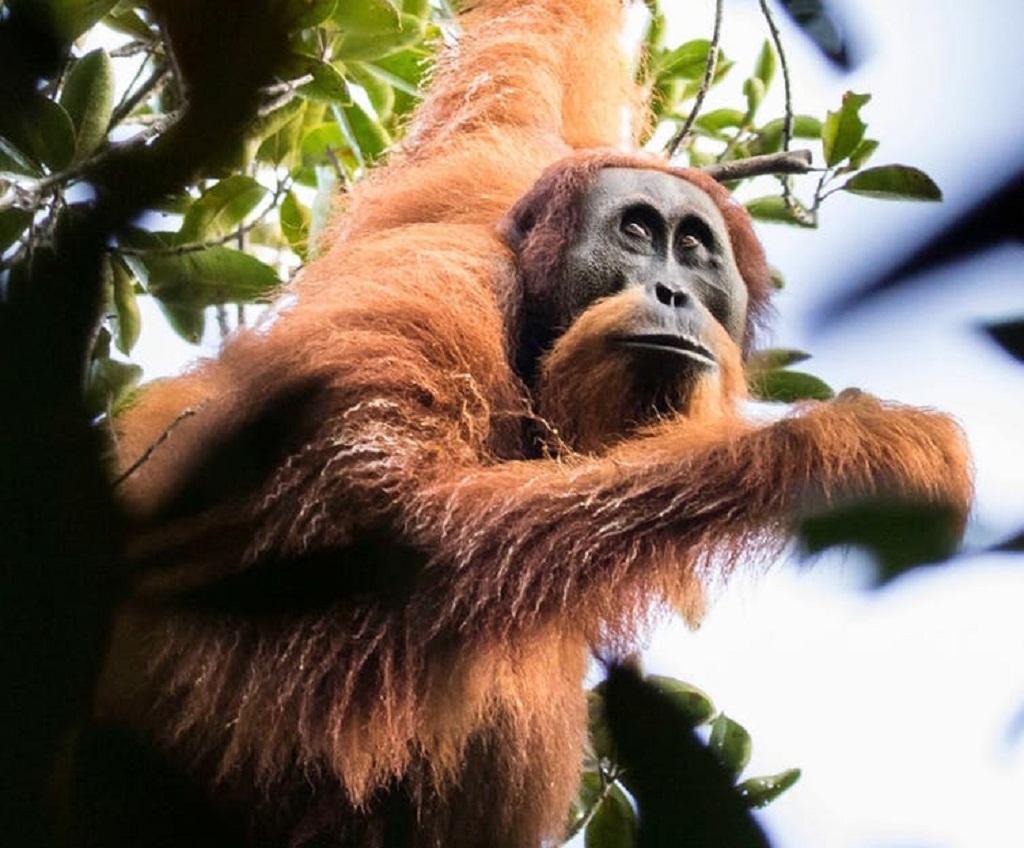 A Tapanuli Orangutan. Maxime Aliaga