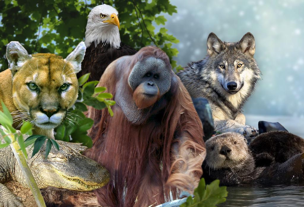Some of the predators mentioned in the study include mountain lions, alligators, orangutans, gray wolves and sea otters        Credit: Ritika Bohra/CSE