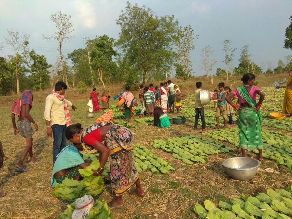 Although the forest dwelling communities have ownership on kendu leaf as Minor Forest Produce, the leaf is a nationalised product in the state, giving Forest Department a monopoly over its trade. Credit: Author
