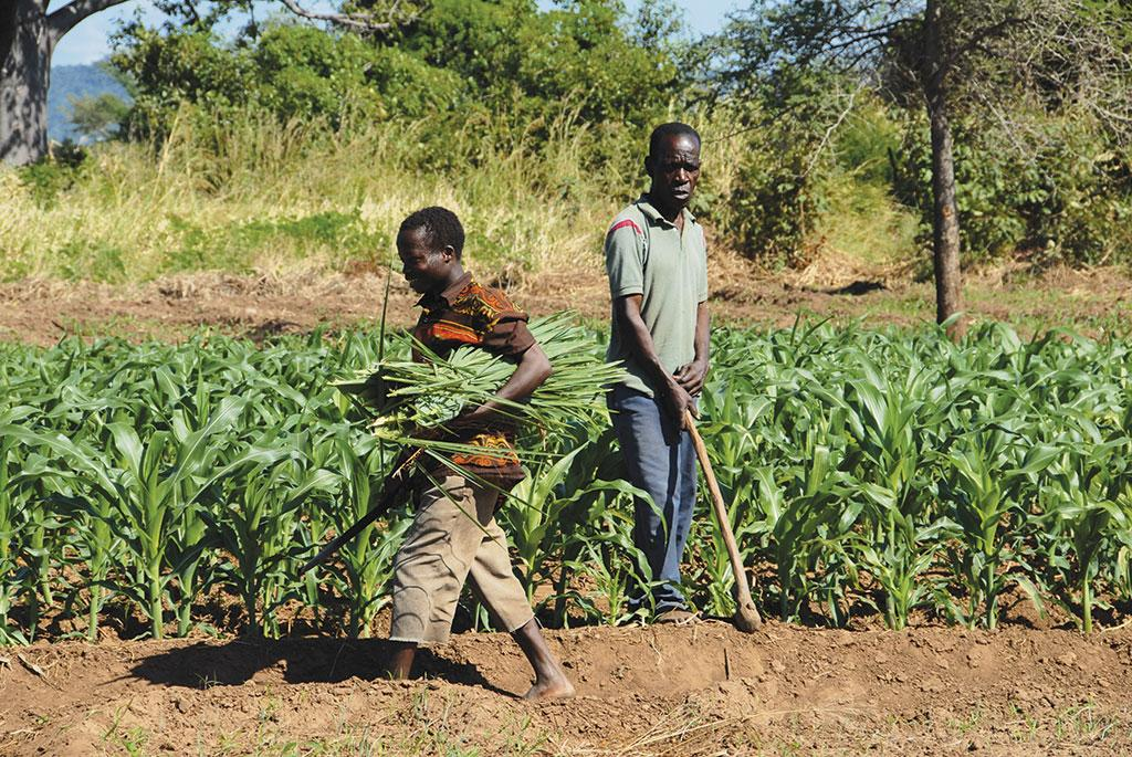 In Malawi, Conservation Agriculture has become quite popular. It is based on building and storage of soil organic matter 