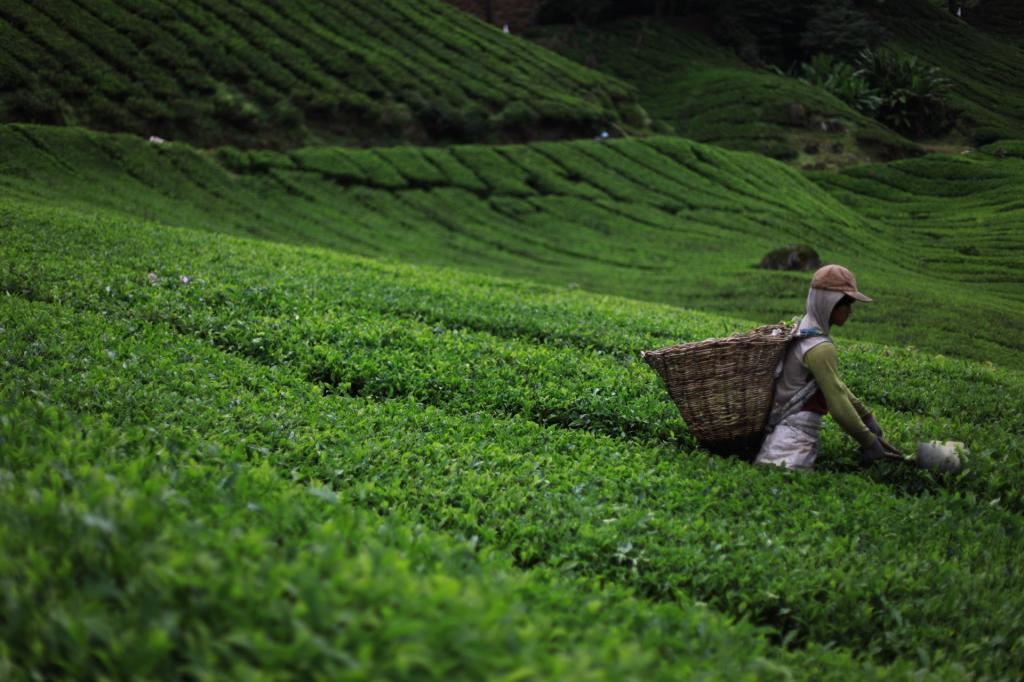 Rising temperatures have led to a decline in overall production of Darjeeling tea in terms of green leaf production per hectare. Credit:Publicdomainpictures.net