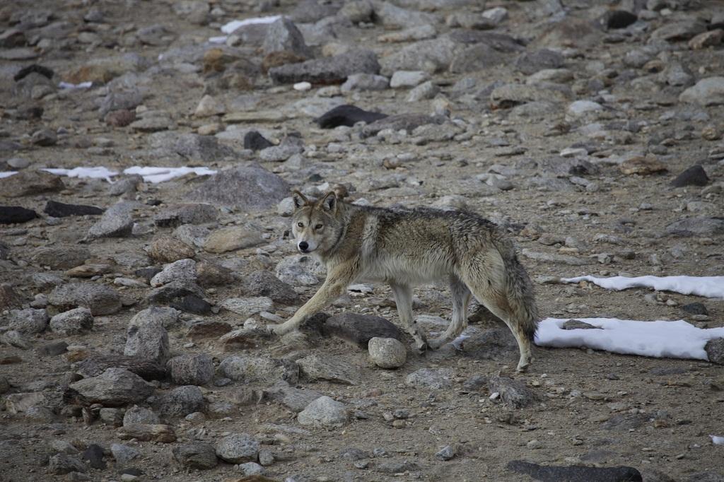 A Himalayan Wolf       Credit: Smanla Tsering