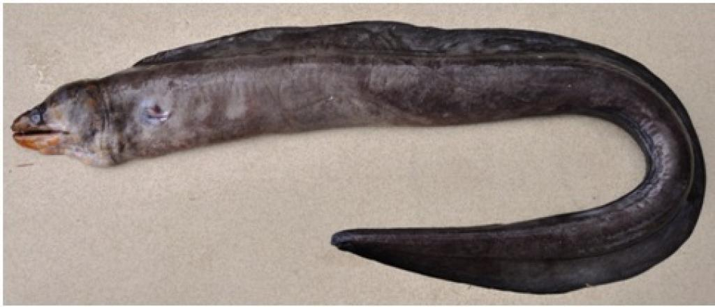 Specimen of the Odishi Eel (scientific name-Gymnothorax odishi) was discovered in the Bay of Bengal.