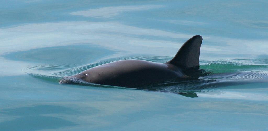 A Vaquita    Credit: Wikimedia Commons