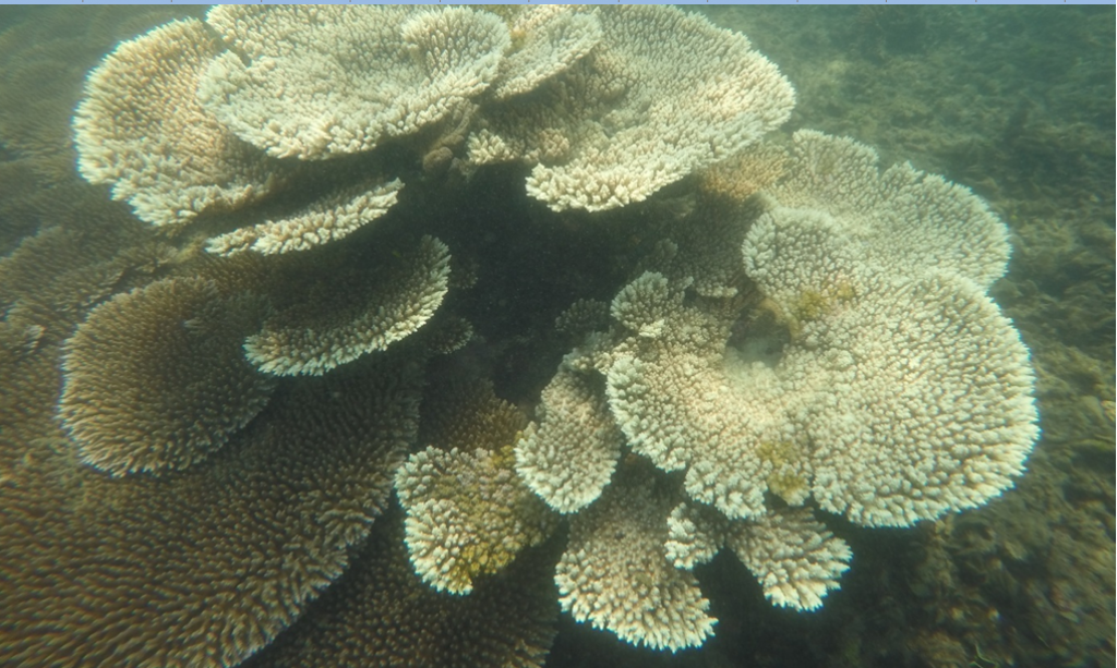 Coral Acroporacytherea; coral reefs have the highest biodiversity of any marine ecosystem, providing important and direct economic benefits to people. Credit: Author