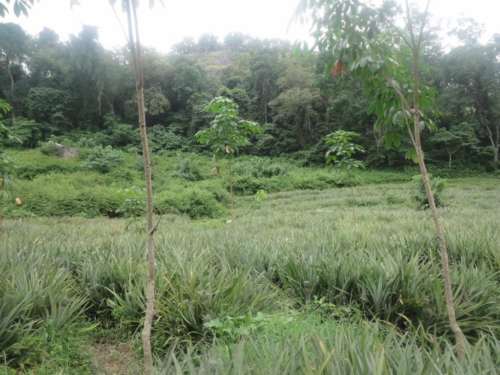 Thousands of hectares of land in rubber plantations run by state corporations are leased to contractors who grow palatable crops. This threatens wild animals in the area such as sambar and Indian bison. Credit: Author