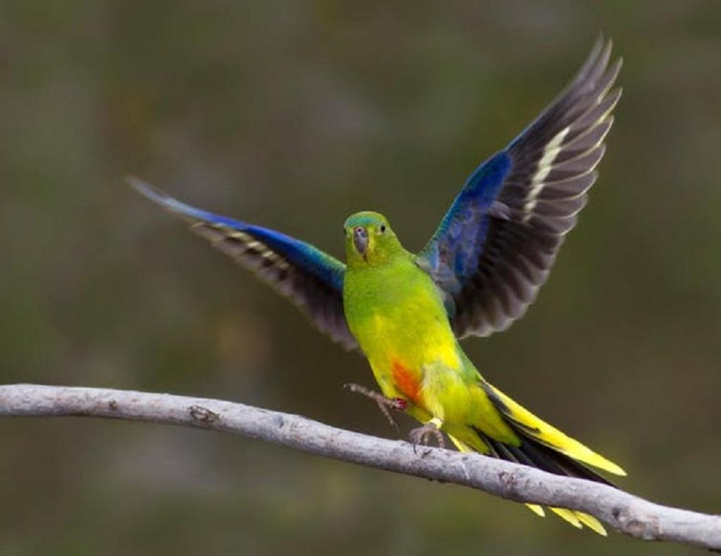 Crowdfunded campaigns to save the orange-bellied parrot are a rare ray of hope. Fatih Sam