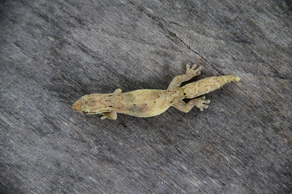 The study found that despite high temperature during day time, geckos didn't look for cool places to hide. Credit: Wikimedia Commons
