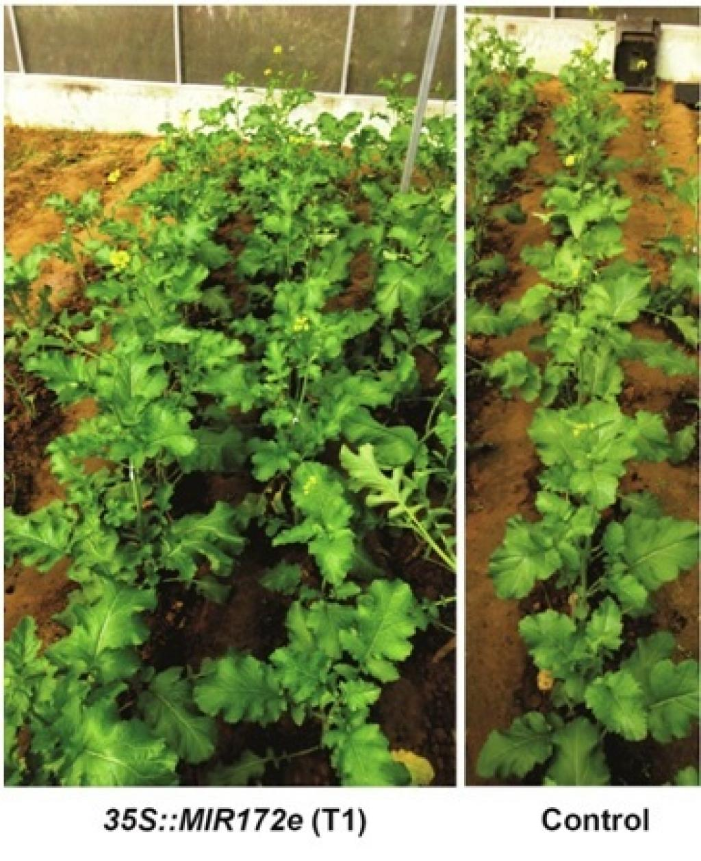 By increasing the expression of this microRNA, the researchers have developed an early flowering transgenic plant of Indian mustard cultivar Brassica junceacv.