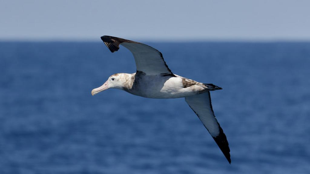 Albatrosses are large seabirds found widely in the southern hemisphere. Credit: Ed Dunens/Flickr