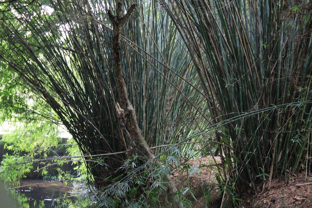A bamboo grove           Credit: Wikimedia Commons