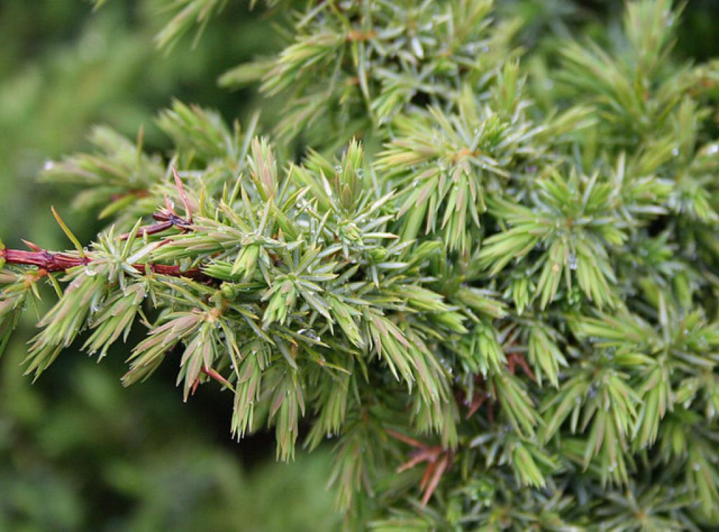 Juniper, a wild plant mentioned in the report          Credit: Wikimedia Commons