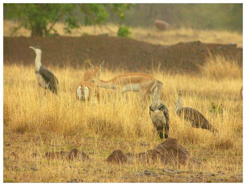 Great Indian Bustards in Solapur, Maharashtra            Credit: Wikimedia Commons