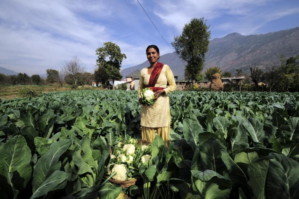 A farmer in her field of cauliflower in Himachal Pradesh's Kullu          Credit: Flickr