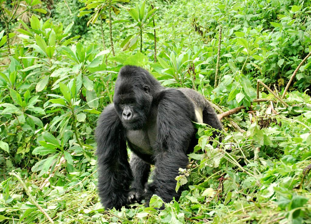 A silverback in Rwanda's Volcanoes National Park         Credit: Wikimedia Commons