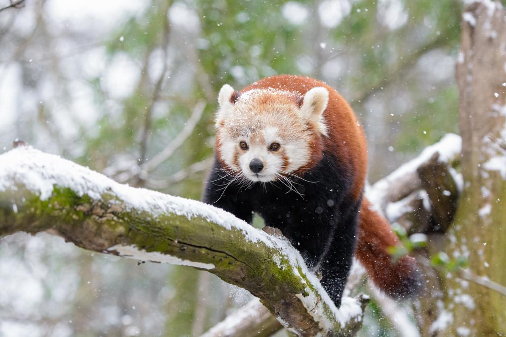 The Red Panda is one of the 21 species under the recovery programme. Credit: Mathias Appel/Flickr
