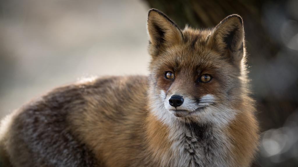 Wild red foxes living near urban areas harbor more number of antibiotic resistant bacteria in their gut compared to foxes that reside around remote areas. Credit: Dirk-Jan van Roest/Flickr