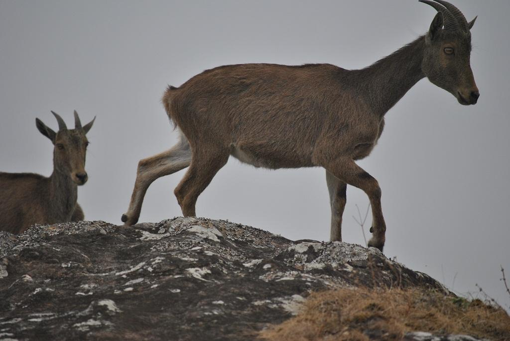 Nilgiri Tahr      Credit: ATREE