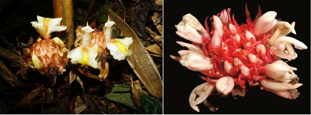 Amomumnimkeyense (left) and Amomumriwatchii (right) species of ginger. Photo :MamiyilSabu