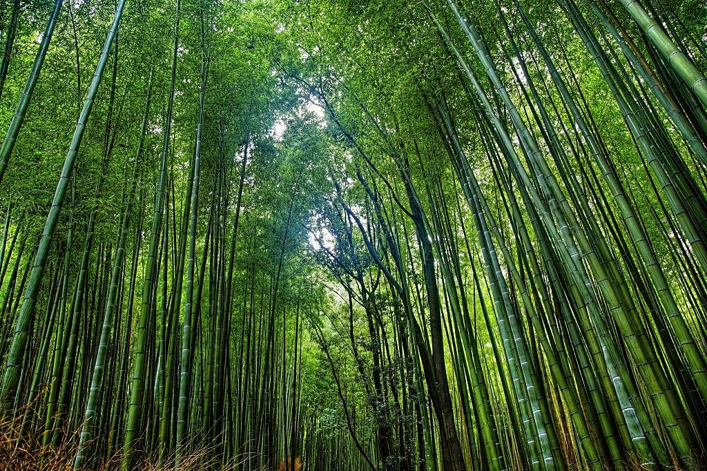 A bamboo forest            Credit: Flickr