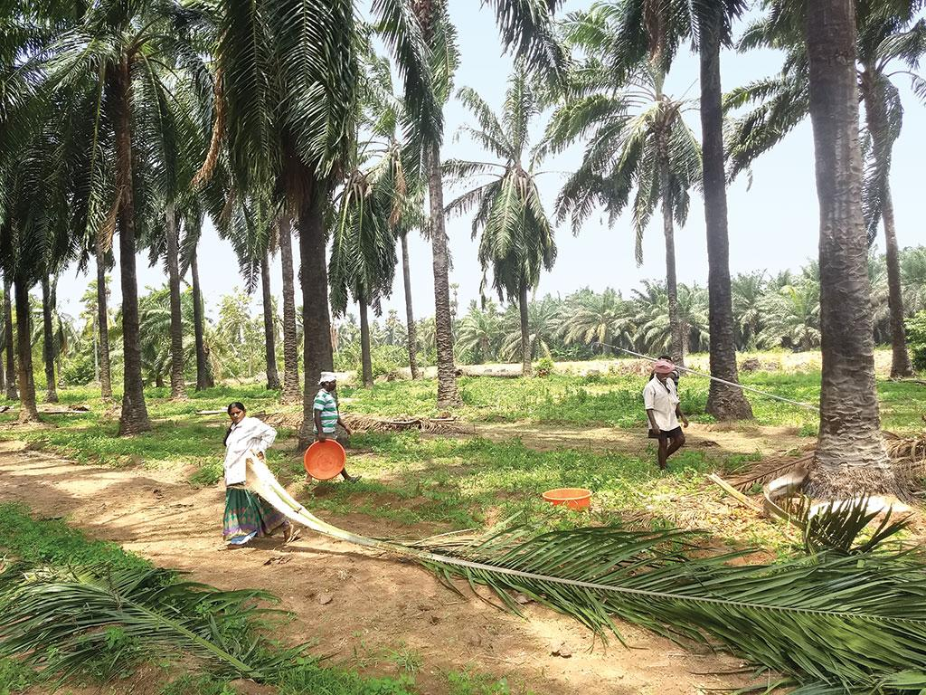 While only palm fruits are traded, harvesting palm requires laborious work of scything and hauling both fruit and leaves that can grow up to 