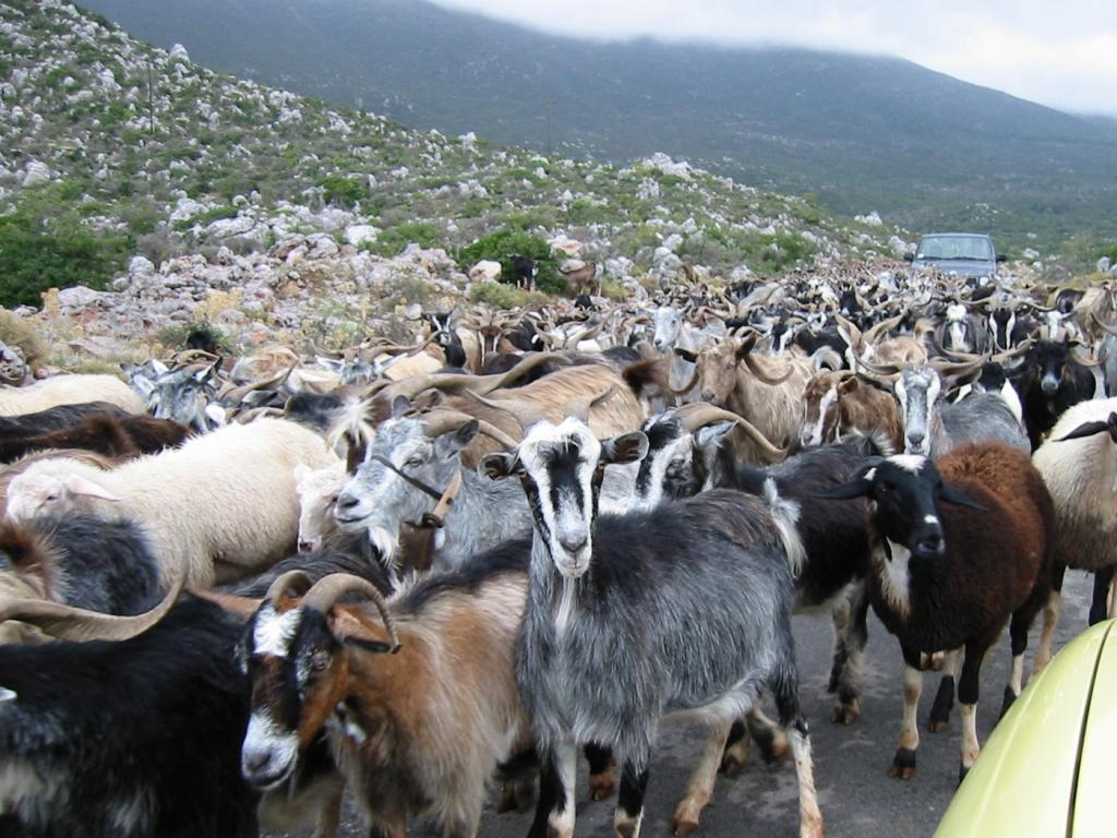 Heat stress can significantly affect meat yield, quality and composition in goats. Credit: Wikimedia Commons