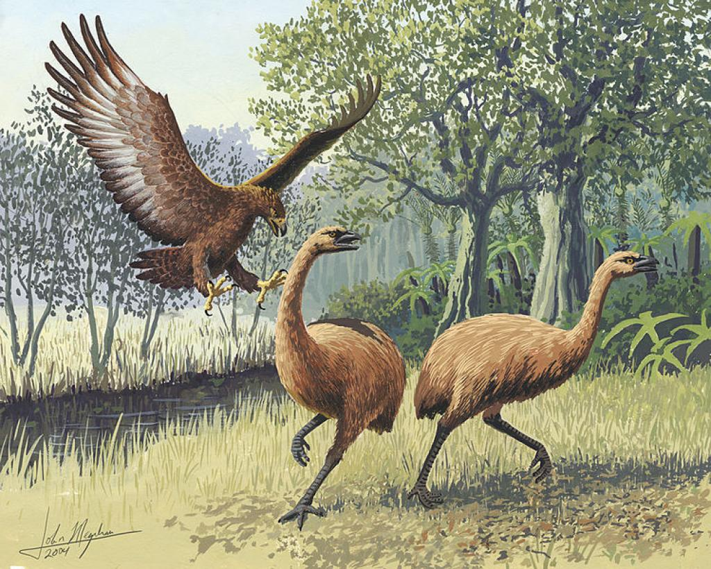 A pair of Giant Moa, that went extinct after the Maori arrived in New Zealand, being attacked by a Giant Haast's Eagle, also extinct now          Credit: Wikimedia Commons