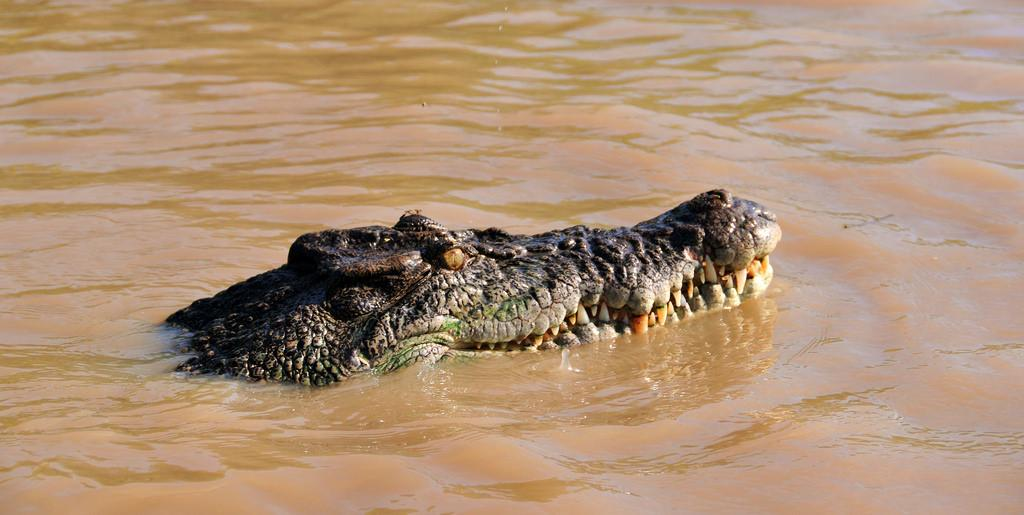 A saltwater crocodile in Australia        Credit: Flickr