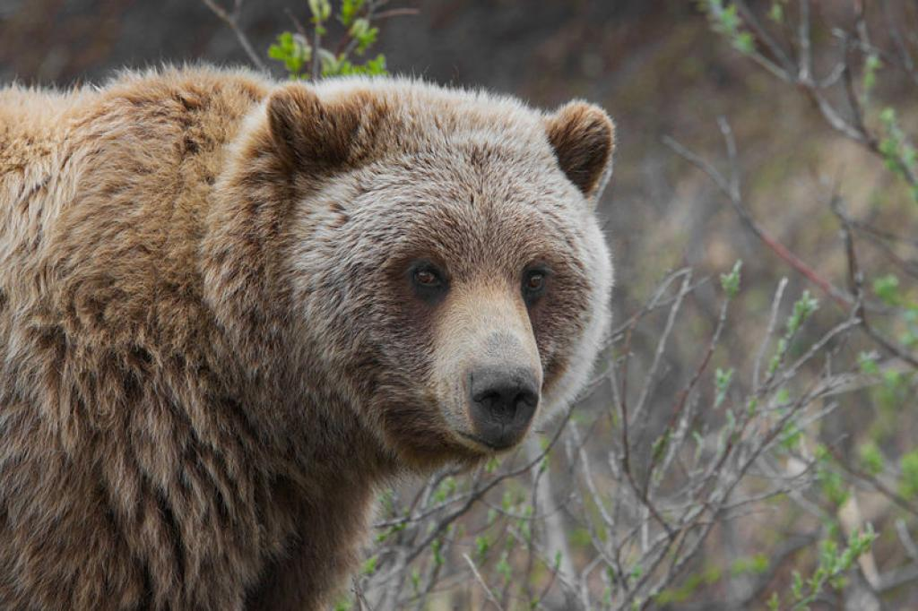 A Grizzly      Credit: Wikimedia Commons