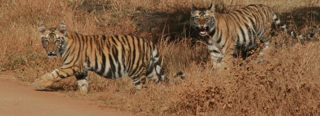 Tiger corridor