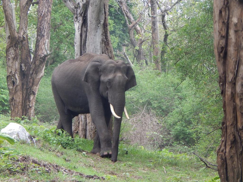 A tusker in Mudumalai Reserve, Nilgiris       Credit: Wikimedia Commons
