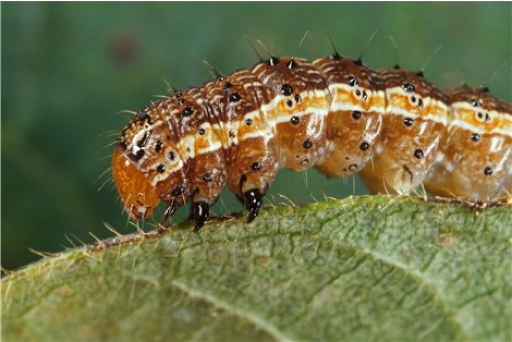 There have been several pest attacks in India in the recent past. Credit: Wikimedia Commons