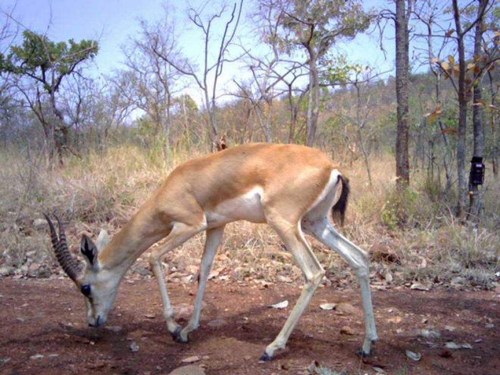 Chinkara in Bukkapatna State Forest