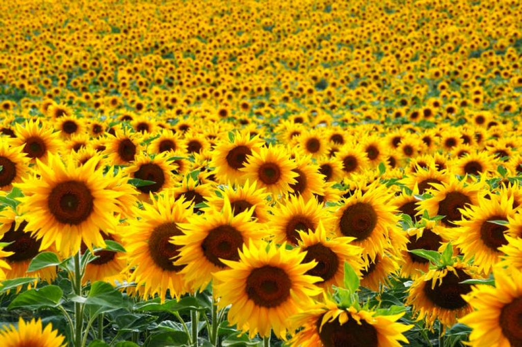 Commercial interest in sunflowers as an oil crop was slow to develop across most of Europe and North America. Credit: Salajean/Shutterstock.com