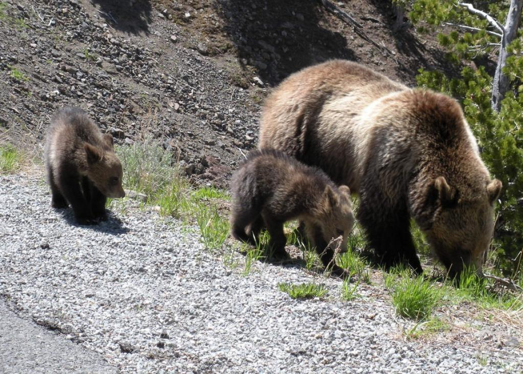 A Grizzly sow with cubs in Yellowstone          Credit: Flickr