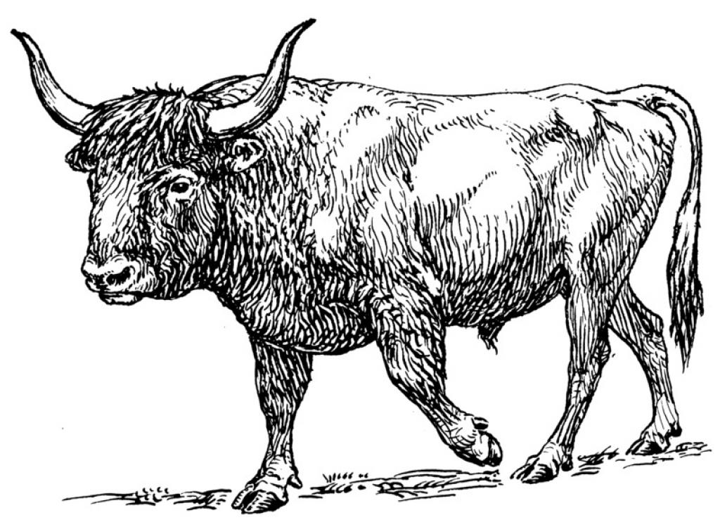 A sketch of the Aurochs         Credit: Wikimedia Commons