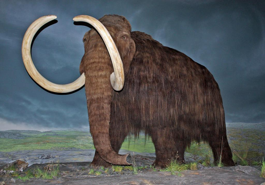 A life-size model of the woolly mammoth       Credit: Wikimedia Commons