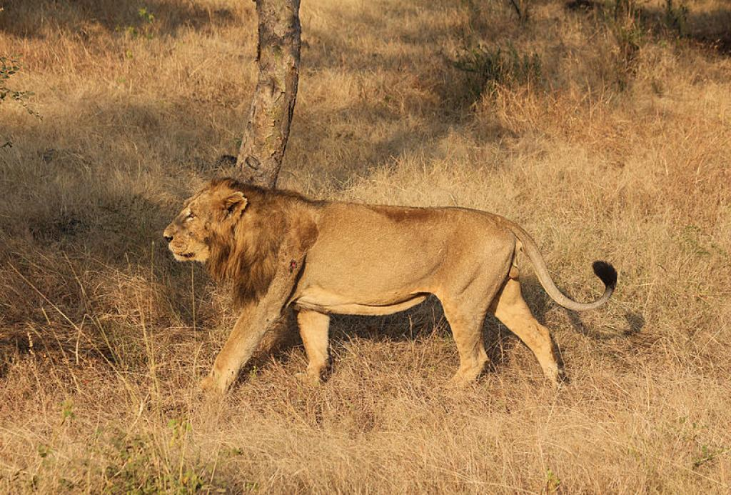 A male lion in Gir        Credit: Wikimedia Commons