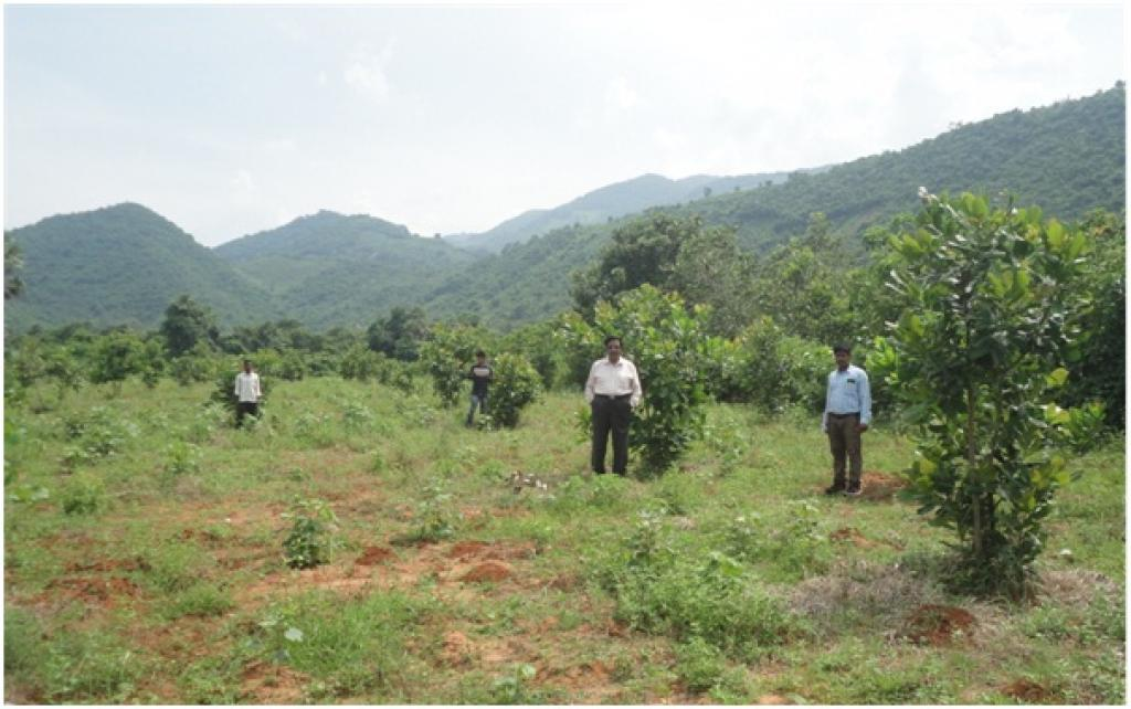 A Cashew plantation raised under ITDA in Srikakulam's Bhamini Mandal   Credit: V Sundararaju