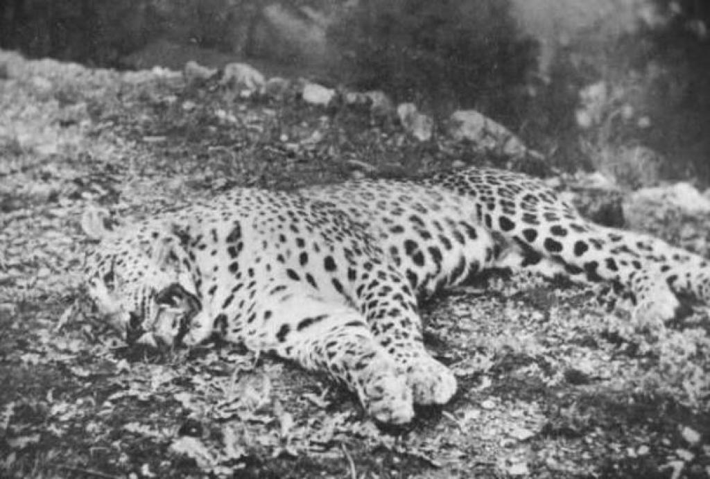 The Panar Maneating Leopard killed by Jim Corbett     Credit: Wikimedia Commons