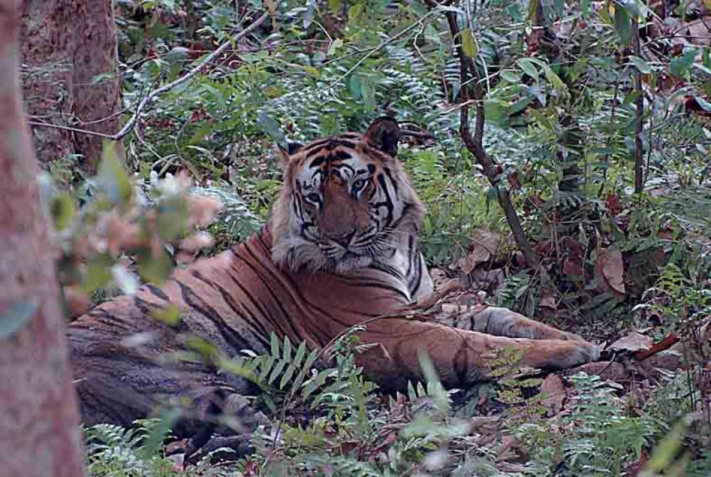 A tiger in Bandhavgarh National Park, Madhya Pradesh     Credit: Wikimedia Commons